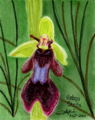 Dessin-ophrys-mouche.jpg