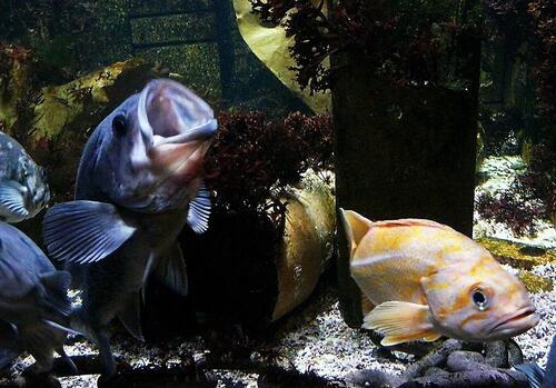 Poissons Rockfish
