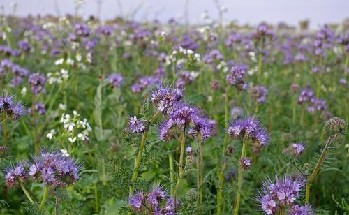 Fleurs cultivées : Phacélie