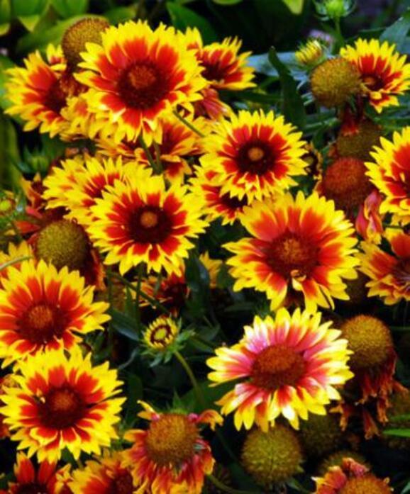 la Gaillarde (plante vivace ) floraison de Mai a novembre
