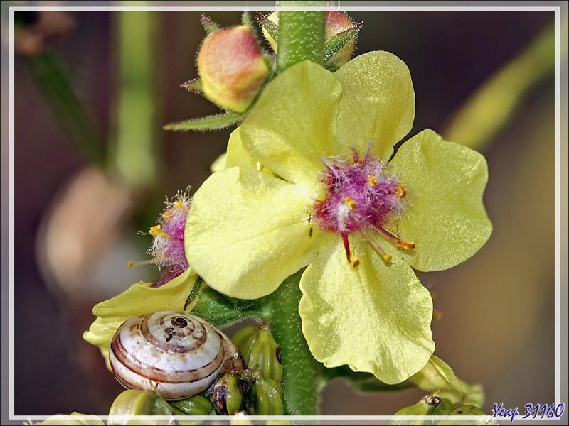 Fleur de Bouillon-blanc (Verbascum sp.) - Les Portes-en-Ré - Ile de Ré - 17