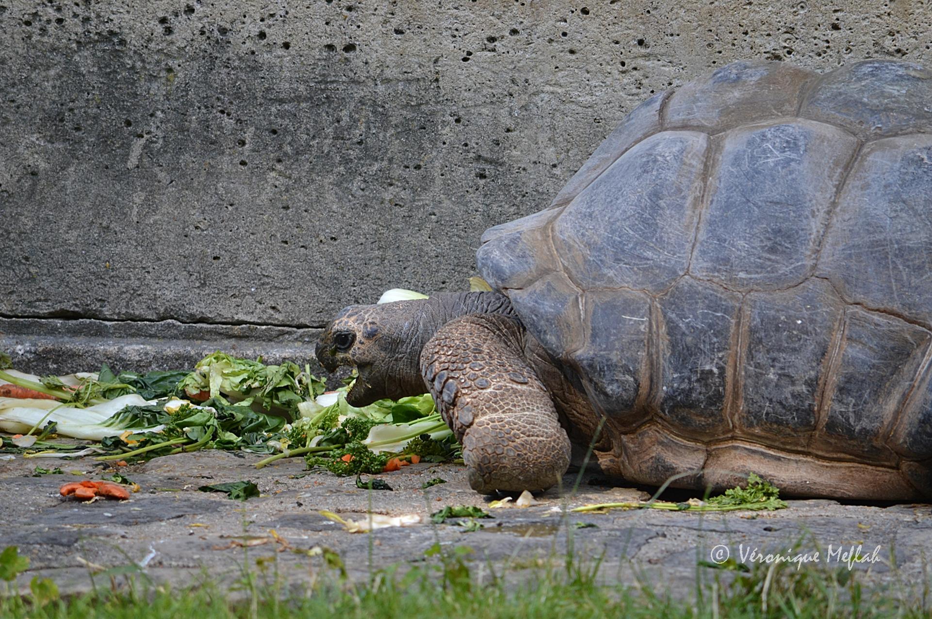 M nagerie du jardin des plantes p ricl s tortue des seychelles une fleur de paris - Menagerie du jardin des plantes tarif ...