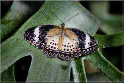 CPapillons Tropicaux Cethosia cyane Nymphalidae