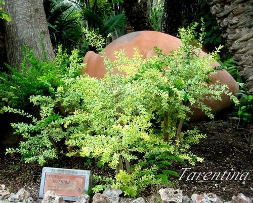 800px-Myrtus-tarentina
