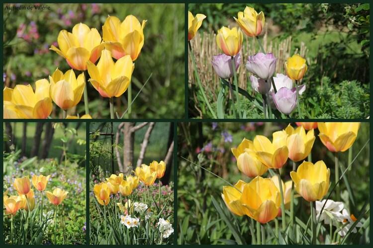 floraisons nouvelles Tulipes 2019