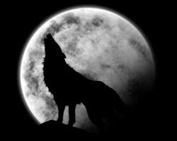 Le loup amoureux de la lune