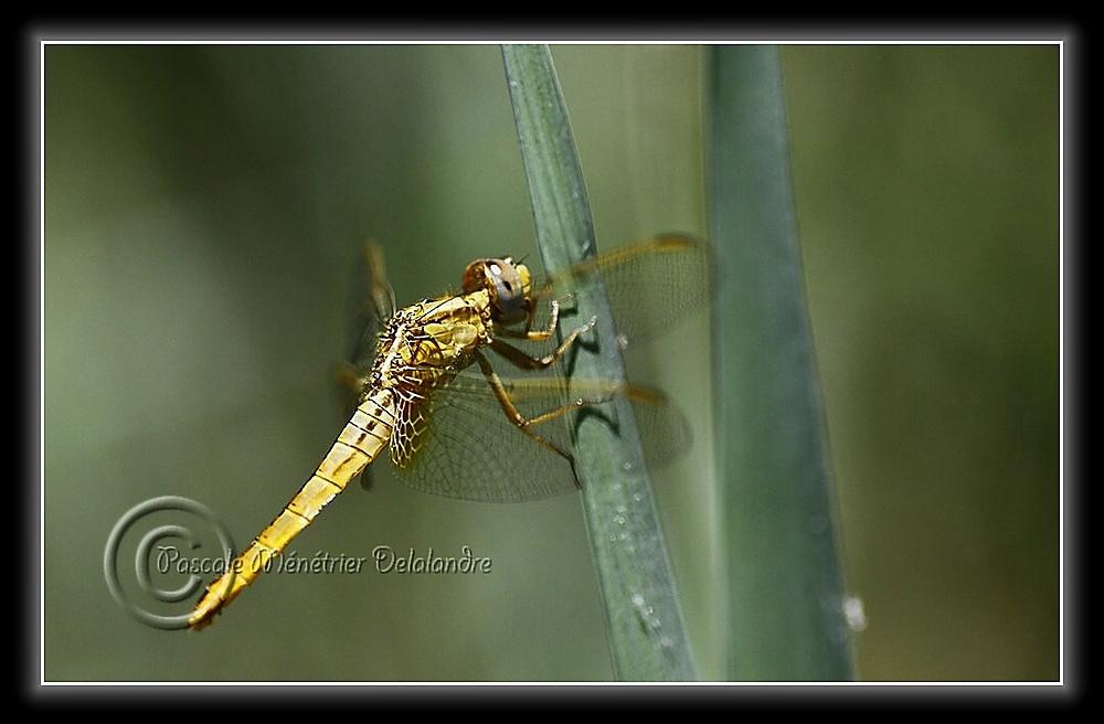 Crocothemis erythraea femelle