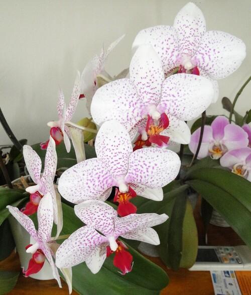 Orchidées, encore