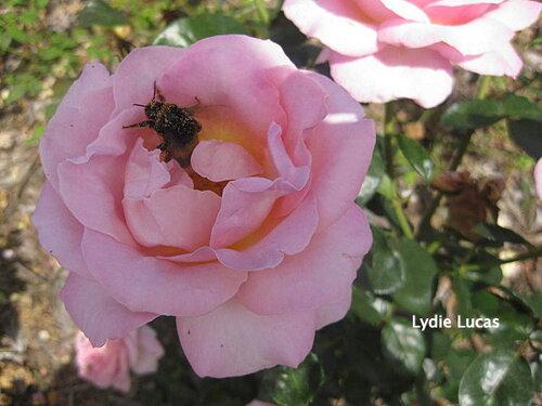 La rose du samedi n° 11