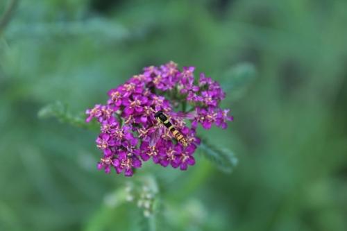 Insectes floricoles