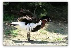Bernache à cou roux - Parc des oiseaux