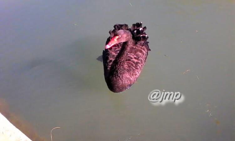 Le Cygne noir (Cygnus atratus) est une espèce de cygne originaire d'Australie et de Tasmanie qui doit son nom à la coloration en grande partie noire de son plumage