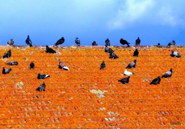 m11---Pigeons.JPG