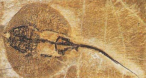 Fossile de raie
