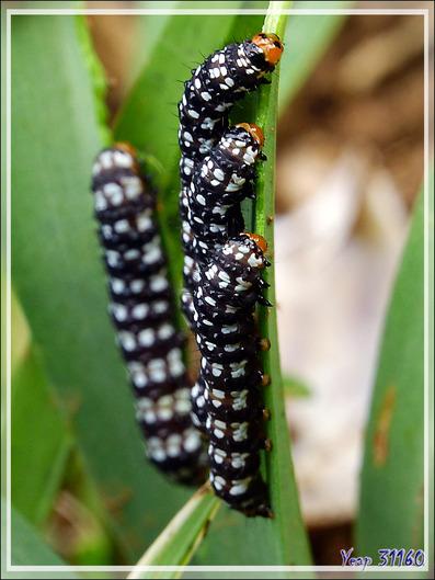 Chenilles - Nosy Be - Madagascar