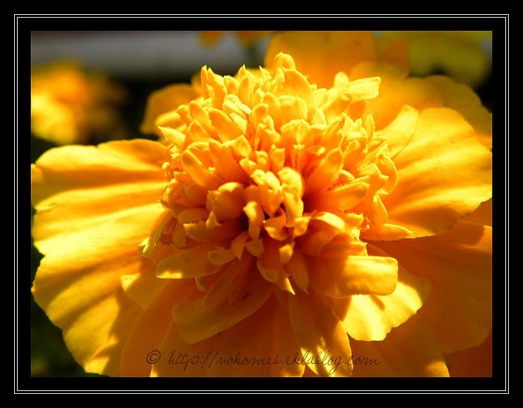 Oeillets d'Inde oranges