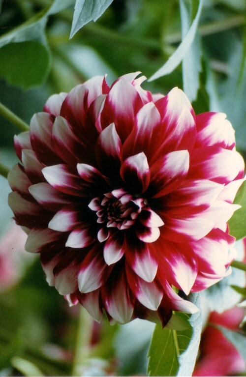 suite dahlias