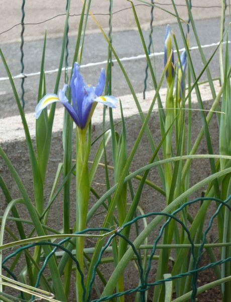 Iris de Hollande-05-10