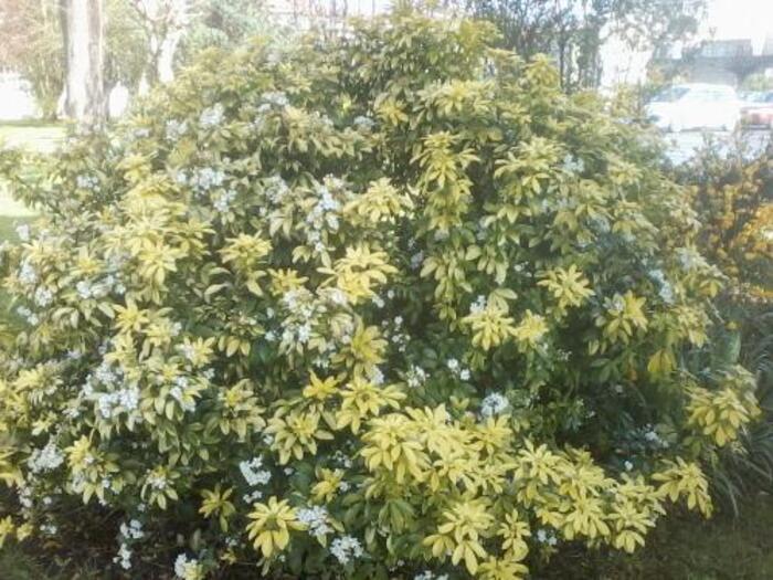 arbutes qui fleurissent au printemps