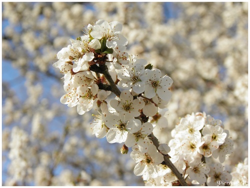 Floraison printannière