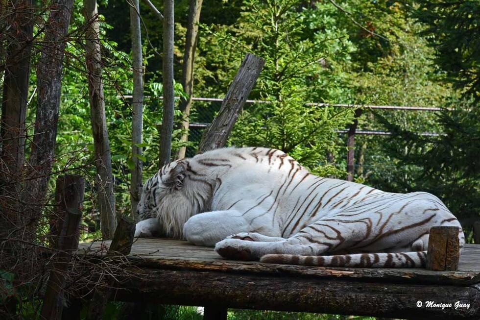 Les magnifiques tigres blancs