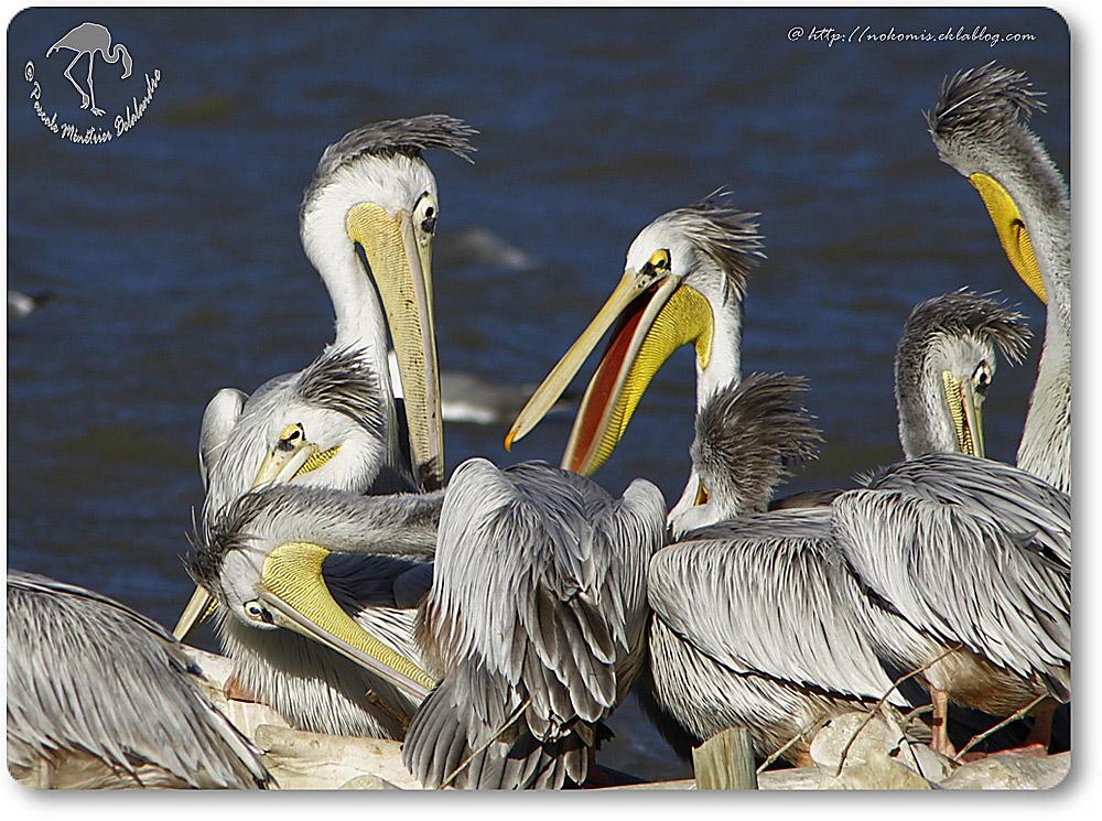 Pélicans à dos rosé (Pelecanus rufescens)