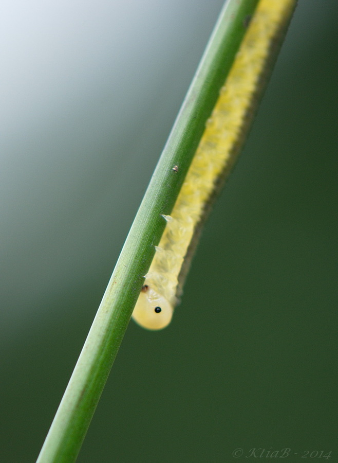 larve