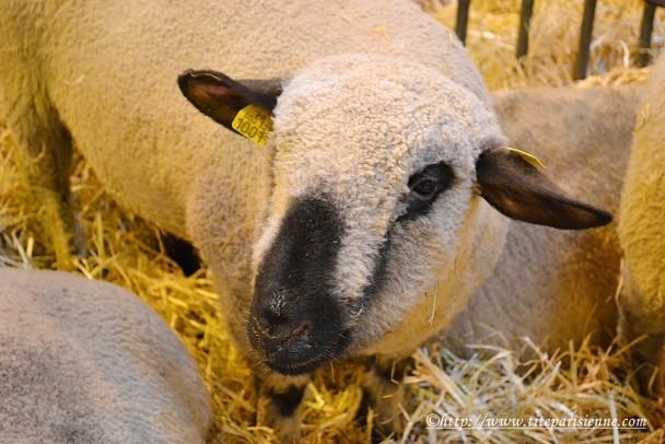27 février 2012 Mouton Salon de l'Agriculture 2
