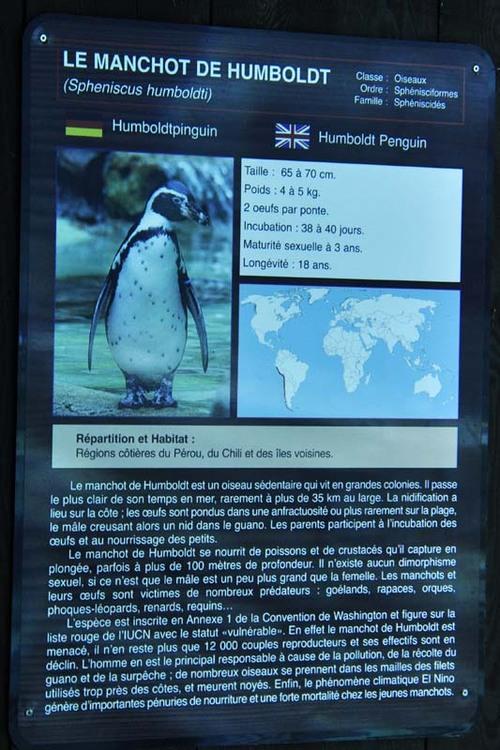 Les manchots de humbold au zoo d'Amnéville (1)