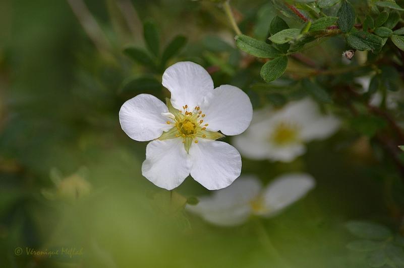 L'île saint-Louis : Le square Barye - Paris 4e : Petites fleurs blanches