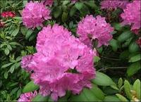 http://t3.gstatic.com/images?q=tbn:hnkHsuhhfqEWCM:http://www.pbs.org/wgbh/victorygarden/images/bestbets/rhododendrons/rhododendrons_1_lg.jpg