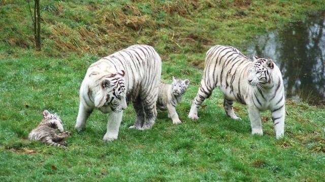 Une belle journée ,un petit train parcourt la réserve ou sont visibles les tigres blancs et autres grands fauves