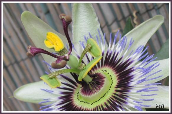 Passiflore, Grenadille, Maracudja ou fleur de la passion