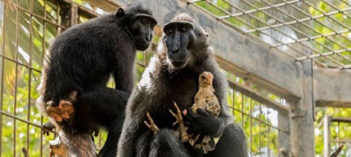 Un Macaque Adopte Un Poulet