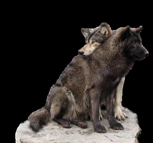 Loups Série 3