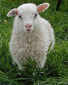 mouton-pelouse.jpg