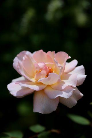 Roseraie - Juillet (5/5)