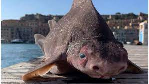 Un poisson-cochon ...