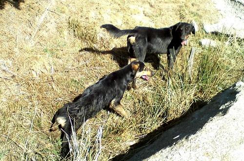 Les chiens du berger