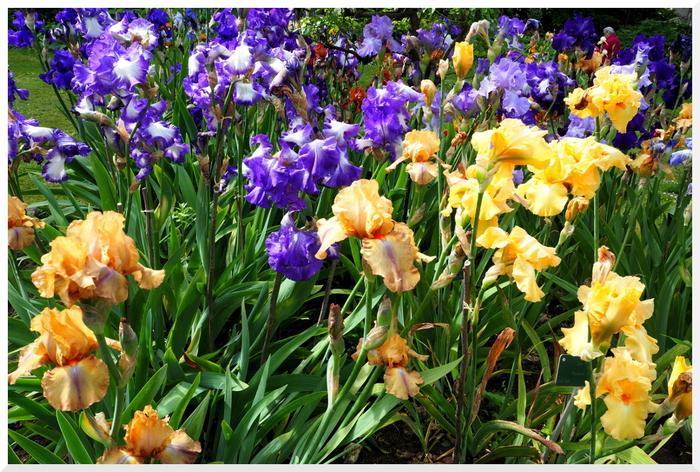 Paris. Iris au jardin des plantes 2017-1