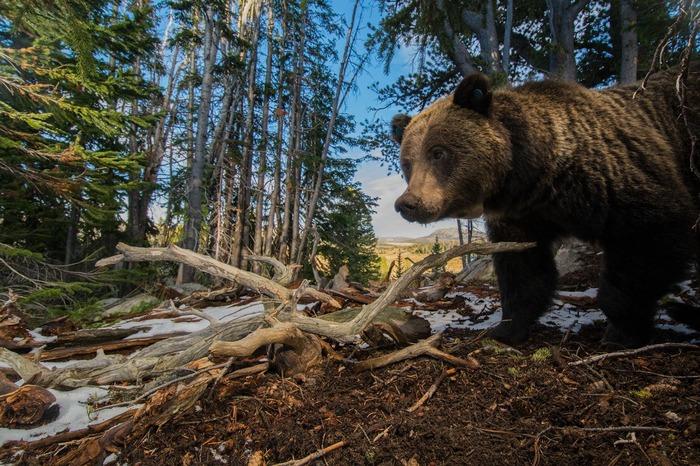 Les grizzlis de Yellowstone en images