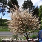 Dans mon jardin, la cordyline austarle - Sa fleur gigantesque !