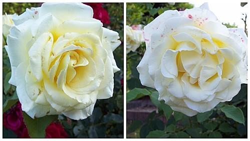 2-roses-jaunes-le-29-juillet-2011.jpg