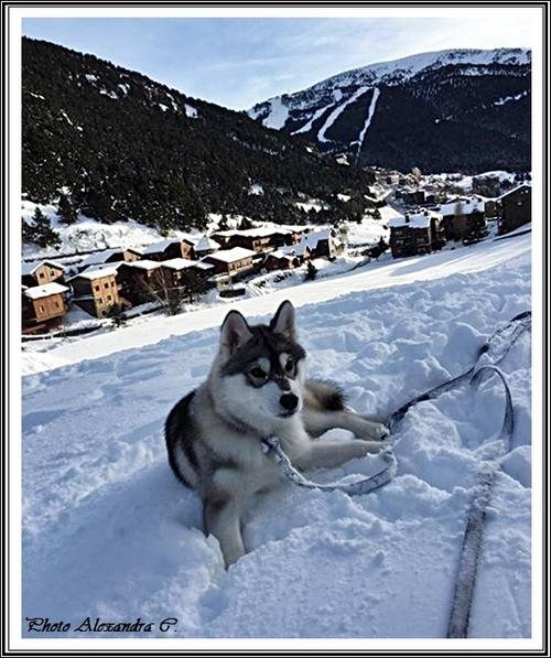 Husky des neiges (27 janvier 2019)