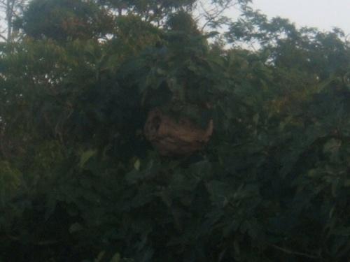 ou les frelon asiatiques nichent ?