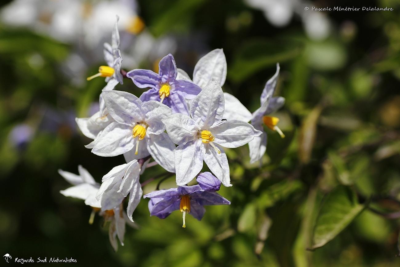 Morelle de Balbis (Solanum sisymbriifolium )