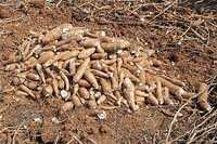 Du manioc sorti de terre