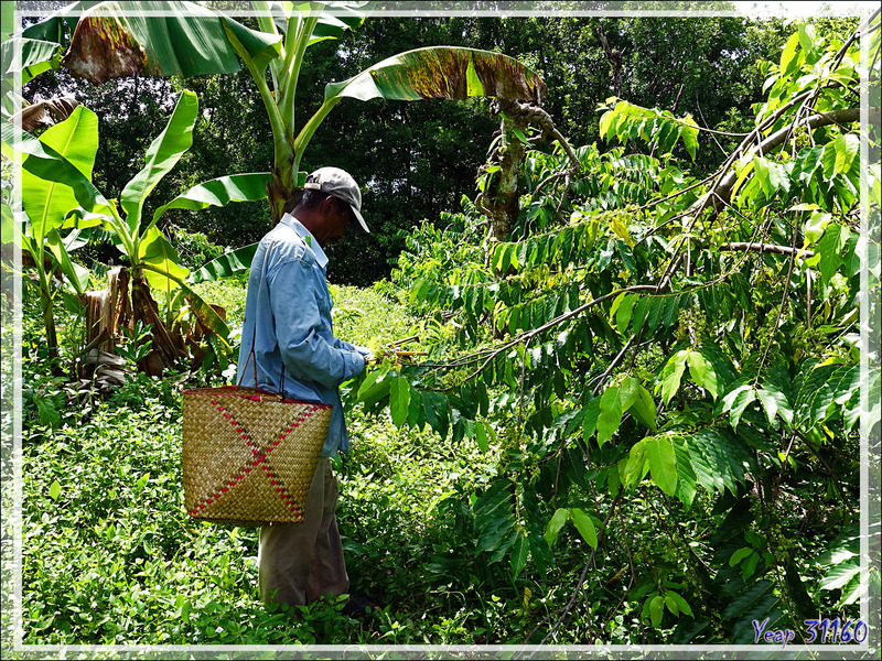 La cueillette de l'ylang-ylang (Cananga odorata) - Nosy Be - Madagascar
