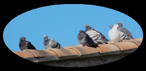 Nouveaux tubes Pigeons
