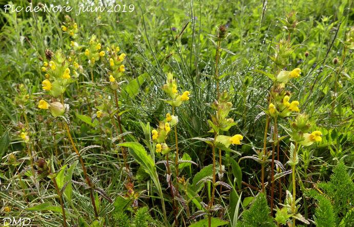 Rhinanthus minor  -  petit rhinanthe